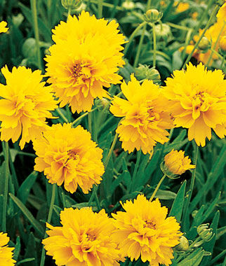 Coreopsis, Early Sunrise 1 Pkt. (150 seeds) Perennial, Perennial Flowers, Perennial Flower Seeds, Flower Seeds, Perennial Seeds, Flowers, Seeds
