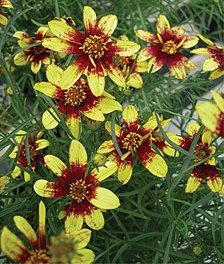 Coreposis Route 66 1 Plant Perennial, Perennial Flowers, Perennial Flower Plants, Perennial Plants, Flower Plants, Flowers
