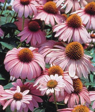 Echinacea, Magnus 1 Pkt. (50 seeds) Perennial, Perennial Flowers, Perennial Flower Seeds, Flower Seeds, Perennial Seeds, Flowers, Seeds