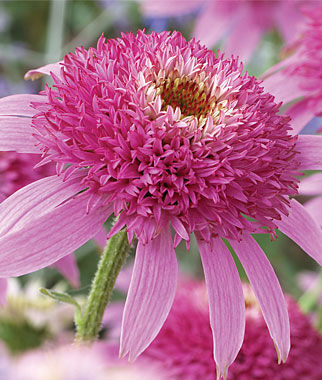 Echinacea, Pink Double Delight 1 Plant Perennial, Perennial Flowers, Perennial Flower Plants, Perennial Plants, Flower Plants, Flowers