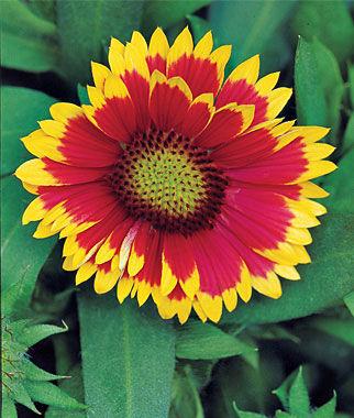 Gaillardia, Arizona Sun 1 Plant Perennial, Perennial Flowers, Perennial Flower Plants, Perennial Plants, Flower Plants, Flowers