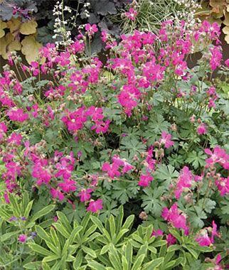 Geranium, Crystal Rose 1 Plant Perennial, Perennial Flowers, Perennial Flower Plants, Perennial Plants, Flower Plants, Flowers