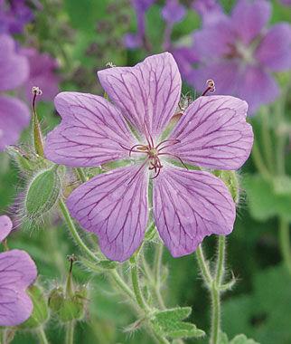 Geranium, Rozanne 1 Plant Perennial, Perennial Flowers, Perennial Flower Plants, Perennial Plants, Flower Plants, Flowers