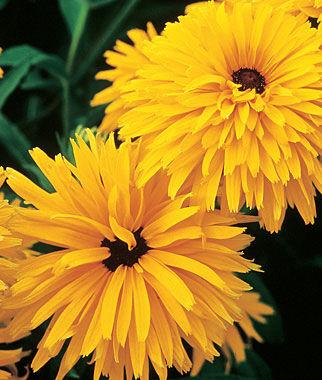 Gloriosa Daisy, Gloriosa Double Gold 1 Pkt. (100 seeds) Perennial, Perennial Flowers, Perennial Flower Seeds, Flower Seeds, Perennial Seeds, Flowers, Seeds
