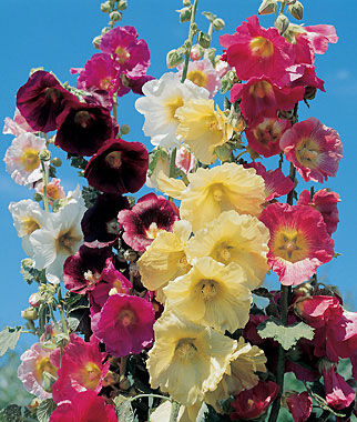 Hollyhock, Country Romance Mix 1 Order ( 4 Plants) Perennial, Perennial Flowers, Perennial Flower Plants, Perennial Plants, Flower Plants, Flowers