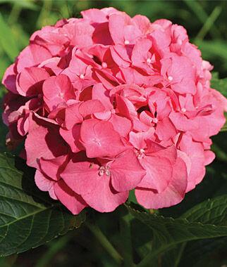 Hydrangea, Masja 1 Plant Perennial, Perennial Flowers, Perennial Flower Plants, Perennial Plants, Flower Plants, Flowers