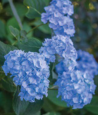 Hydrangea, Nikko Blue 1 Plant Perennial, Perennial Flowers, Perennial Flower Plants, Perennial Plants, Flower Plants, Flowers