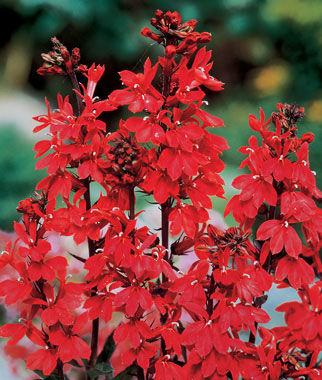 Lobelia, Cardinal Flower 1 Plant Perennial, Perennial Flowers, Perennial Flower Plants, Perennial Plants, Flower Plants, Flowers