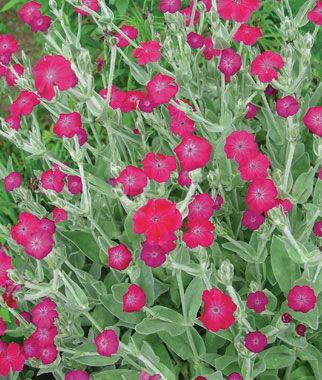 Lychnis, Abbotswood Rose Hybrid 1 Pkt. (50 seeds) Perennial, Perennial Flowers, Perennial Flower Seeds, Flower Seeds, Perennial Seeds, Flowers, Seeds