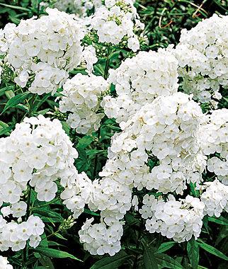 Phlox, David 1 Plant Perennial, Perennial Flowers, Perennial Flower Plants, Perennial Plants, Flower Plants, Flowers