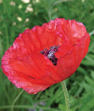 Poppy, Brilliant Red (Oriental) 1 Pkt. (750 seeds) Perennial, Perennial Flowers, Perennial Flower Seeds, Flower Seeds, Perennial Seeds, Flowers, Seeds