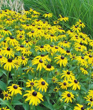 Rudbeckia, Goldsturm 1 Pkt. (100 seeds) Perennial, Perennial Flowers, Perennial Flower Seeds, Flower Seeds, Perennial Seeds, Flowers, Seeds