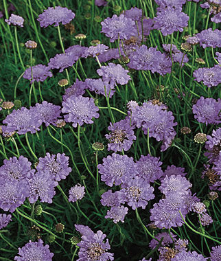 Scabiosa, Butterfly Blue 1 Plant Perennial, Perennial Flowers, Perennial Flower Plants, Perennial Plants, Flower Plants, Flowers