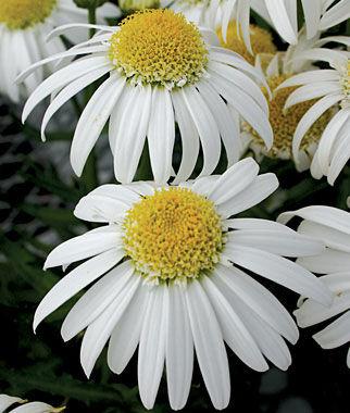 Shasta Daisy, Alaska 1 Pkt. (75 seeds) Perennial, Perennial Flowers, Perennial Flower Seeds, Flower Seeds, Perennial Seeds, Flowers, Seeds