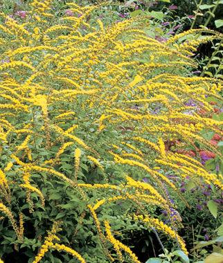 Solidago, Fireworks 1 Plant Perennial, Perennial Flowers, Perennial Flower Plants, Perennial Plants, Flower Plants, Flowers