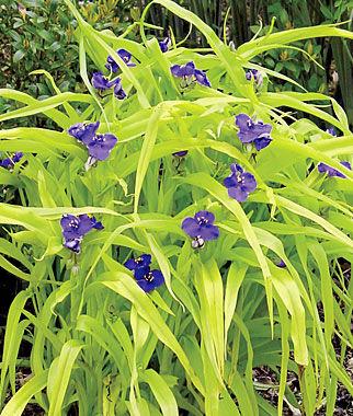 Tradescantia, Blue & Gold 1 Plant Perennial, Perennial Flowers, Perennial Flower Plants, Perennial Plants, Flower Plants, Flowers