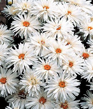 Shasta Daisy, Crazy Daisy 1 Plant Perennial, Perennial Flowers, Perennial Flower Plants, Perennial Plants, Flower Plants, Flowers