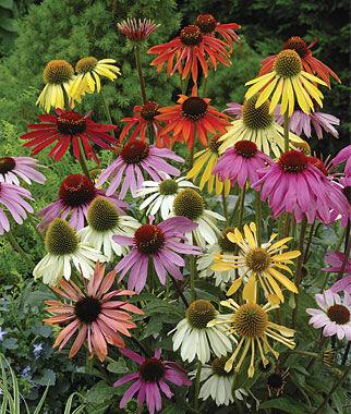 Echinacea, Paradiso Mix 1 Order ( 4 Plants) Perennial, Perennial Flowers, Perennial Flower Plants, Perennial Plants, Flower Plants, Flowers
