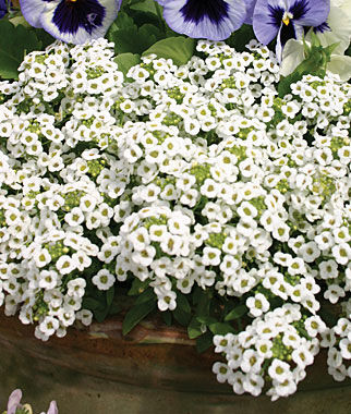 Alyssum, Carpet Of Snow 1 Pkt. (2500 seeds) Annuals, Annual, Annual Flowers, Annual Flower Seeds, Seeds, Flower Seeds, Cottage Garden Flowers