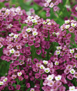 Alyssum, Royal Carpet 1 Pkt. (2500 seeds) Annuals, Annual, Annual Flowers, Annual Flower Seeds, Seeds, Flower Seeds, Cottage Garden Flowers