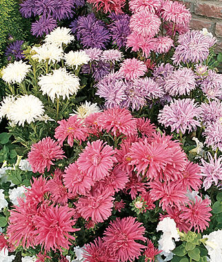 Aster, Totem Pole Mixed Colors 1 Pkt. (100 seeds) Annuals, Annual, Annual Flowers, Annual Flower Seeds, Seeds, Flower Seeds, Cottage Garden Flowers