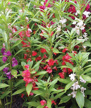 Balsam, Mix 1 Pkt. (75 seeds) Annuals, Annual, Annual Flowers, Annual Flower Seeds, Seeds, Flower Seeds, Cottage Garden Flowers