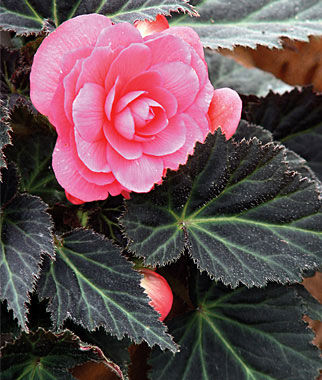 Begonia, Dark Mocca Pink 3 Plants Annuals, Annual Flowers, Annual Flower Plants, Flower Plants, Flowering Annuals, Bedding Plants
