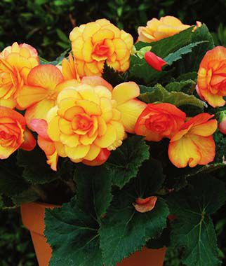 Begonia, Nonstop Fire 3 Plants Annuals, Annual Flowers, Annual Flower Plants, Flower Plants, Flowering Annuals, Bedding Plants