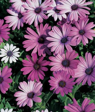 Blue Eyed Daisy, Passion Mix 1 Pkt. (12 seeds) Annuals, Annual, Annual Flowers, Annual Flower Seeds, Seeds, Flower Seeds, Cottage Garden Flowers