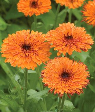 Calendula, Oktoberfest 1 Pkt. (100 seeds) Annuals, Annual, Annual Flowers, Annual Flower Seeds, Seeds, Flower Seeds, Cottage Garden Flowers