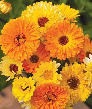 Calendula, Pacific Beauty Mix Organic 1 Pkt. (150 seeds) Annuals, Annual, Annual Flowers, Annual Flower Seeds, Seeds, Flower Seeds, Cottage Garden Flowers