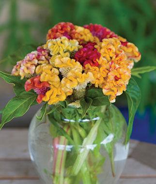 Celosia, Kurume Corona 1 Pkt. (15 seeds) Annuals, Annual, Annual Flowers, Annual Flower Seeds, Seeds, Flower Seeds, Cottage Garden Flowers