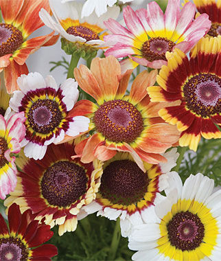 Chrysanthemum, Tricolor Daisy 1 Pkt. (100 seeds) Annuals, Annual, Annual Flowers, Annual Flower Seeds, Seeds, Flower Seeds, Cottage Garden Flowers