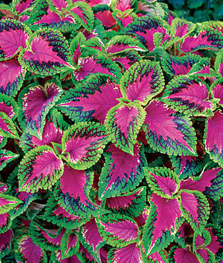 Coleus, Watermelon 6 Plants Annuals, Annual Flowers, Annual Flower Plants, Flower Plants, Flowering Annuals, Bedding Plants