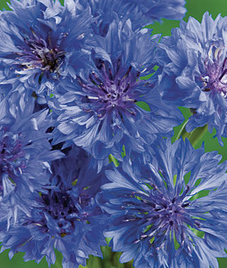 Cornflower, Blue Boy 1 Pkt. (150 seeds) Annuals, Annual, Annual Flowers, Annual Flower Seeds, Seeds, Flower Seeds, Cottage Garden Flowers