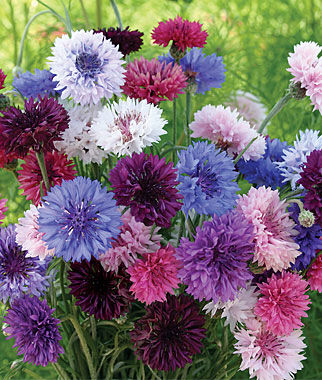 Cornflower, Tall Double Mixed Colors 1 Pkt. (250 seeds) Annuals, Annual, Annual Flowers, Annual Flower Seeds, Seeds, Flower Seeds, Cottage Garden Flowers