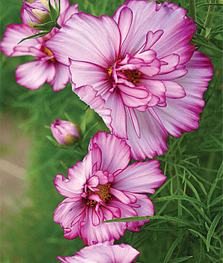 Cosmos, Double Take 1 Pkt. (50 seeds) Annuals, Annual, Annual Flowers, Annual Flower Seeds, Seeds, Flower Seeds, Cottage Garden Flowers