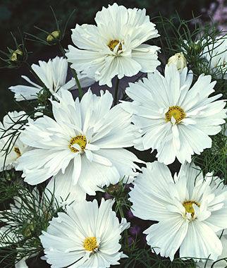 Cosmos, Psyche White 1 Pkt. (50 seeds) Annuals, Annual, Annual Flowers, Annual Flower Seeds, Seeds, Flower Seeds, Cottage Garden Flowers