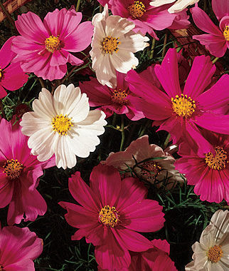 Cosmos, Sensation Mix 1 Pkt. (180 seeds) Annuals, Annual, Annual Flowers, Annual Flower Seeds, Seeds, Flower Seeds, Cottage Garden Flowers