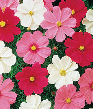 Cosmos, Sonata Mix 1 Pkt. (50 seeds) Annuals, Annual, Annual Flowers, Annual Flower Seeds, Seeds, Flower Seeds, Cottage Garden Flowers