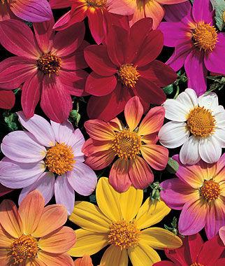 Dahlia, Victoriana Mix 1 Pkt. (50 seeds) Annuals, Annual, Annual Flowers, Annual Flower Seeds, Seeds, Flower Seeds, Cottage Garden Flowers