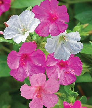 Four O'Clock, High Tea Mix 1 Pkt. (40 seeds) Annuals, Annual, Annual Flowers, Annual Flower Seeds, Seeds, Flower Seeds, Cottage Garden Flowers