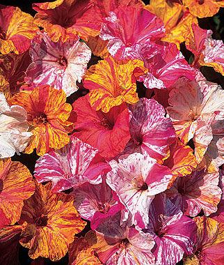 Four O'Clock, Kaleidoscope 1 Pkt. (35 seeds) Annuals, Annual, Annual Flowers, Annual Flower Seeds, Seeds, Flower Seeds, Cottage Garden Flowers