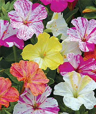 Four O'Clock, Marbles Mix 1 Pkt. (35 seeds) Annuals, Annual, Annual Flowers, Annual Flower Seeds, Seeds, Flower Seeds, Cottage Garden Flowers