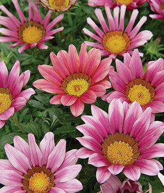 Gazania, Daybreak Pink Shades 1 Pkt. (25 seeds) Annuals, Annual, Annual Flowers, Annual Flower Seeds, Seeds, Flower Seeds, Cottage Garden Flowers
