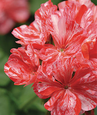 Geranium, Peppermint Twist 3 Plants Annuals, Annual Flowers, Annual Flower Plants, Flower Plants, Flowering Annuals, Bedding Plants