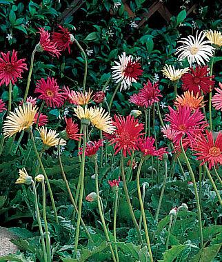 Gerbera, California Mixed Colors 1 Pkt. (25 seeds) Annuals, Annual, Annual Flowers, Annual Flower Seeds, Seeds, Flower Seeds, Cottage Garden Flowers