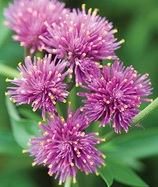 Gomphrena, Fireworks 1 Pkt. (30 seeds) Annuals, Annual, Annual Flowers, Annual Flower Seeds, Seeds, Flower Seeds, Cottage Garden Flowers