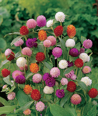 Gomphrena, QIS Mix 1 Pkt. (100 seeds) Annuals, Annual, Annual Flowers, Annual Flower Seeds, Seeds, Flower Seeds, Cottage Garden Flowers