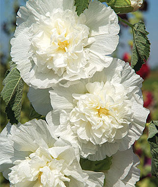 Hollyhock, Rosea The Bride 1 Pkt. (50 seeds) Perennial, Perennial Flowers, Perennial Flower Seeds, Flower Seeds, Perennial Seeds, Flowers, Seeds